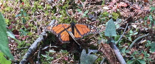 mariposa corta
